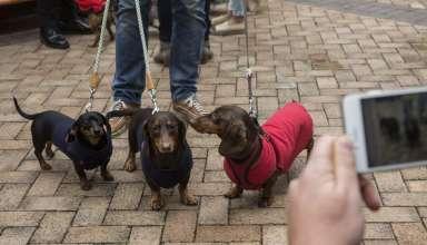 Cachorros 384x220 - Mulher é atacada por 7 cães pequenos e morre nos EUA